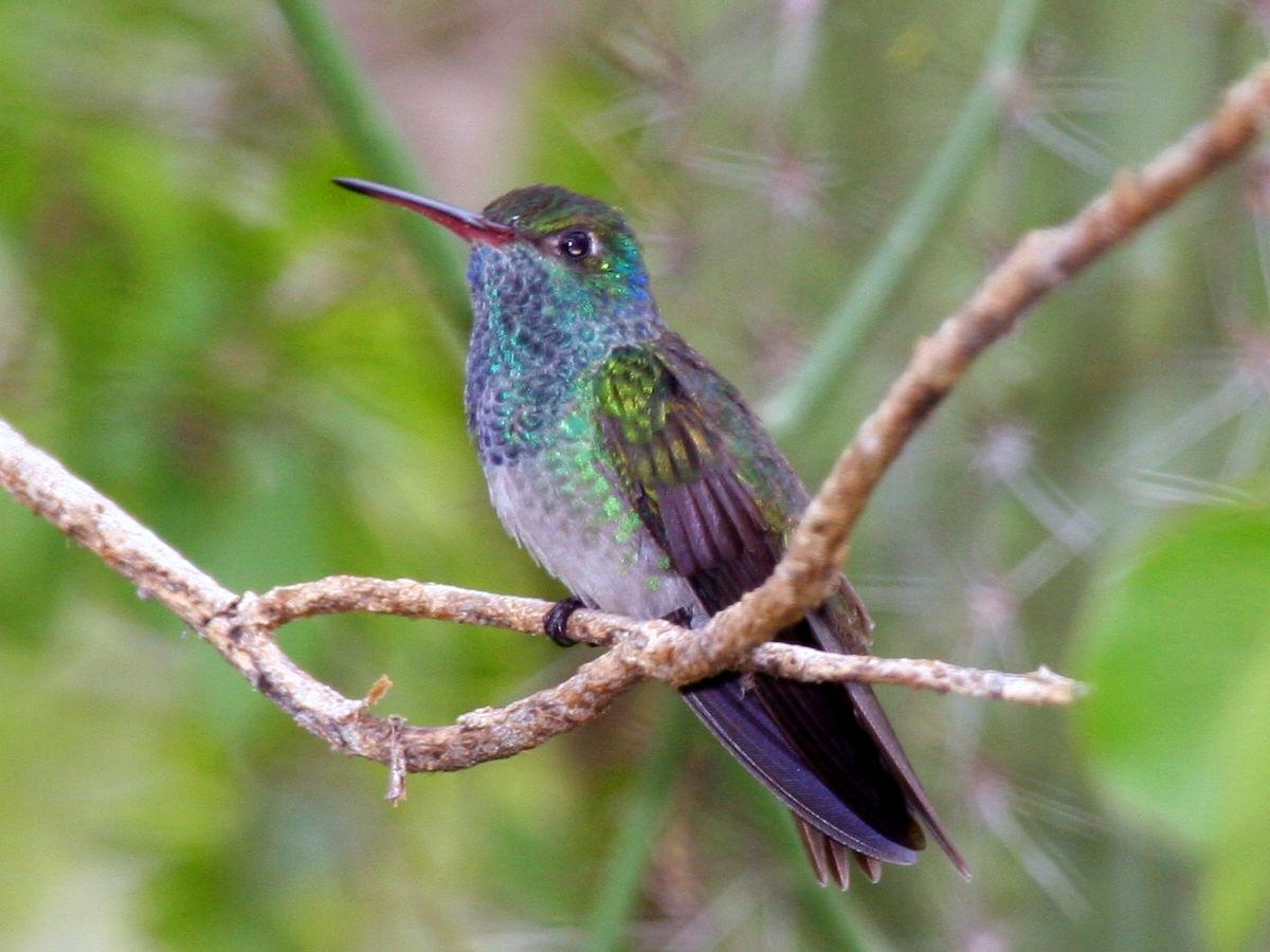 Honduran emerald on a branch