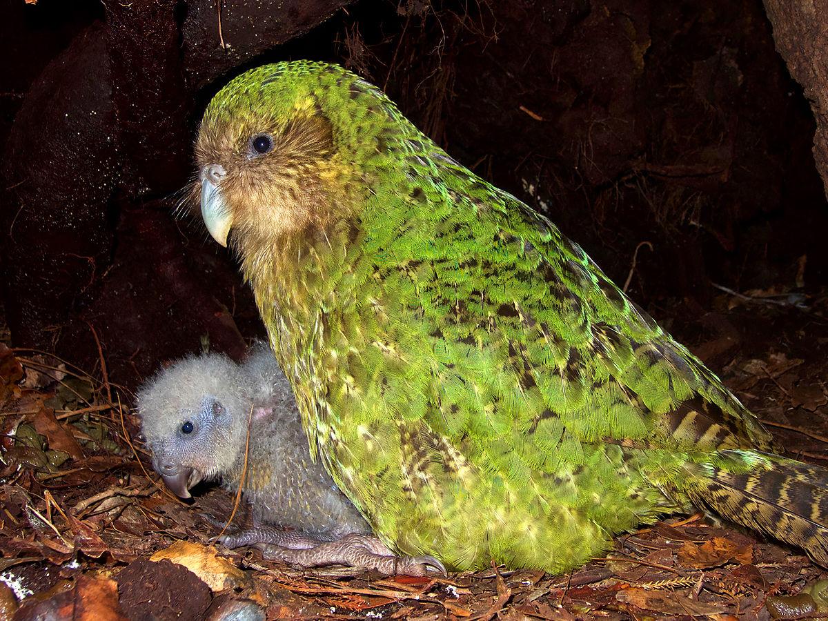 Kakapo in nest