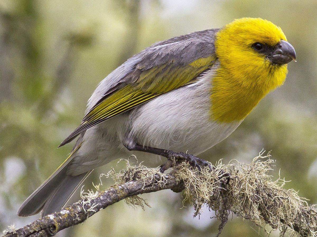 Palila sitting in a branch