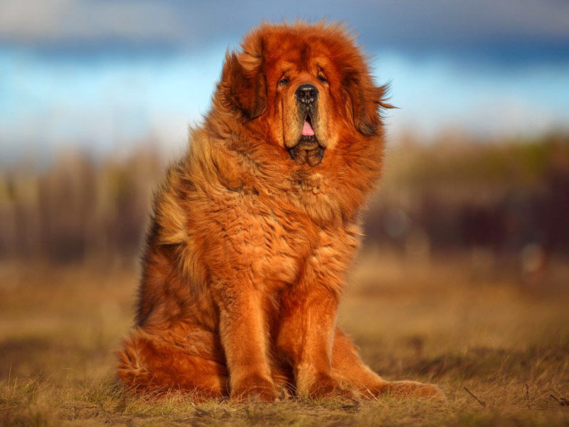 Tibetan Mastiff, strongest dog in the world