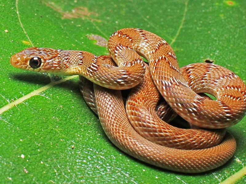 non venomous snakes