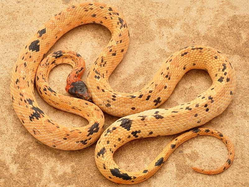 royal snake