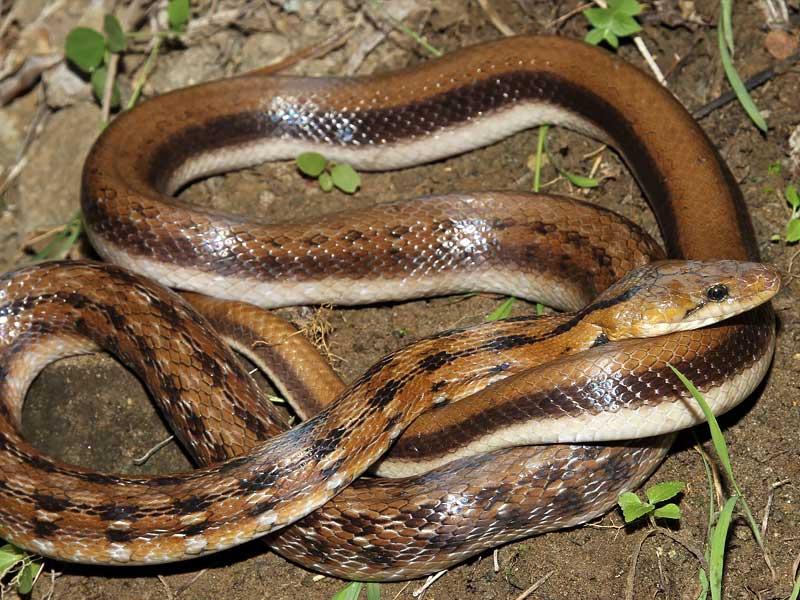 trinket snake
