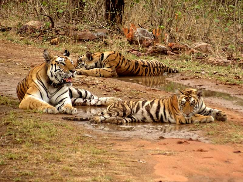 tigers in panna