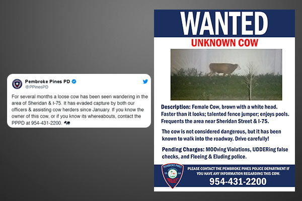 A cow declared wanted by the Florida police