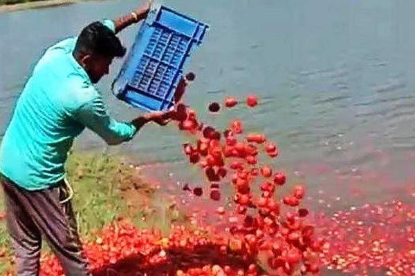 Upset with the govt farmer dumps 3 tonnes of tomatoes  in a lake amid coronavirus lockdown