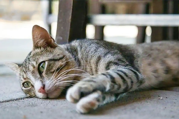 Pet Cat COVID-19 Positive in Englan  First Confirmed Case of COVID-19 Infection in animals in Britai
