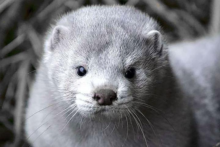 Denmark to cull around 17 million mink