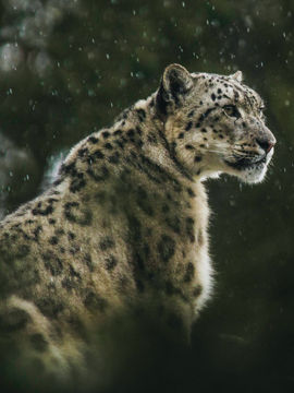 Uttarakhand Is Ready To Organize A Snow Leopard Tour In Feb