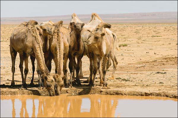 Man steals camel