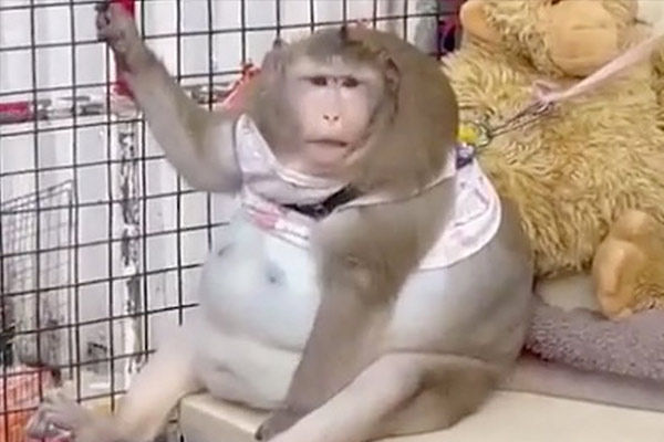 Monkey becomes Obese