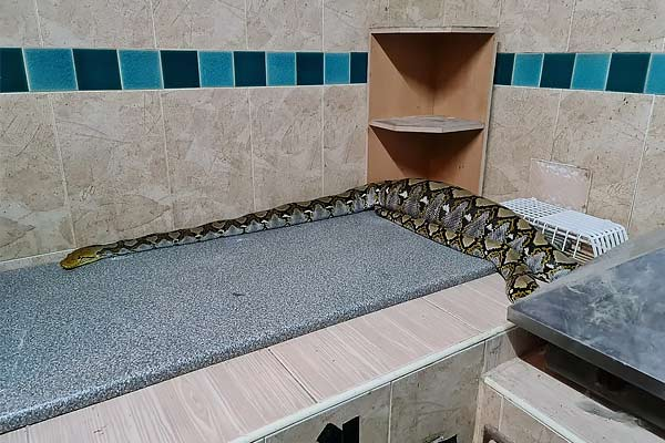 Python Swallows Cat
