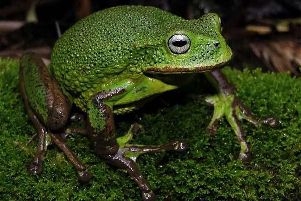 New species of frog in Peru