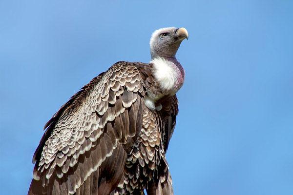 Rare Himalayan Vulture Seen In Maharashtra Tiger Reserve