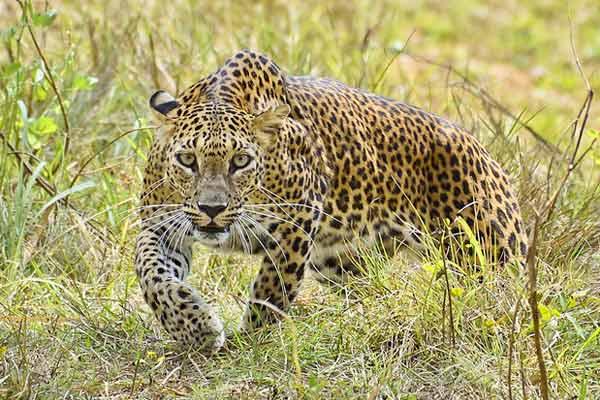 Leopard kills 4-year-old girl