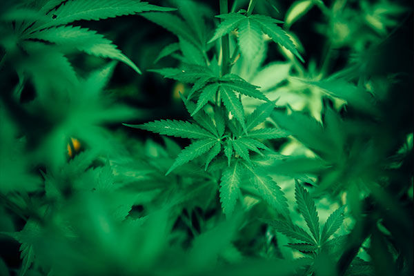 Mexico removes ban on recreational use of marijuana