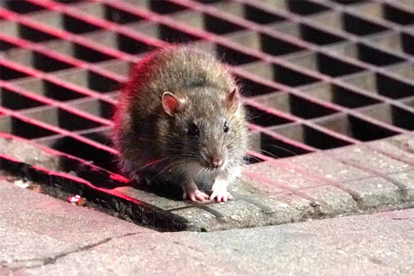 wine bottles emptied by rats