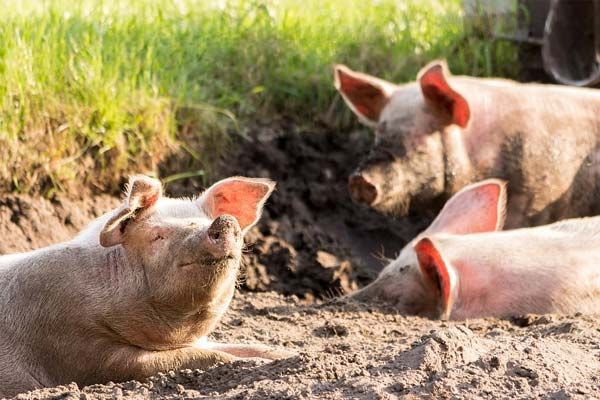 African swine flu disease now spread in pigs in China