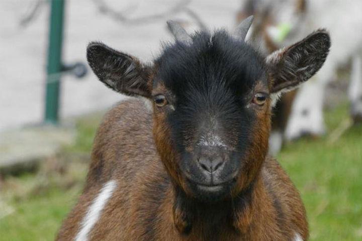 5 men rape goat in Pak