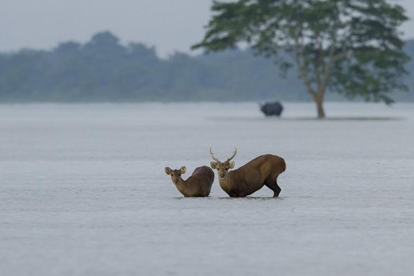 70 percent of Kaziranga national park submerged by flood 4 hog deer killed