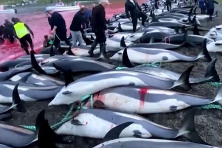 1,400 dolphins culled
